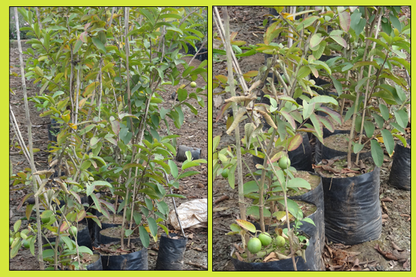 MANISHA NURSERY Guava plants